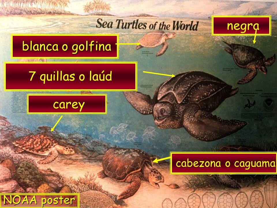 blanca o golfina blanca o golfina 7 quillas o laúd carey negra cabezona o caguama NOAA poster