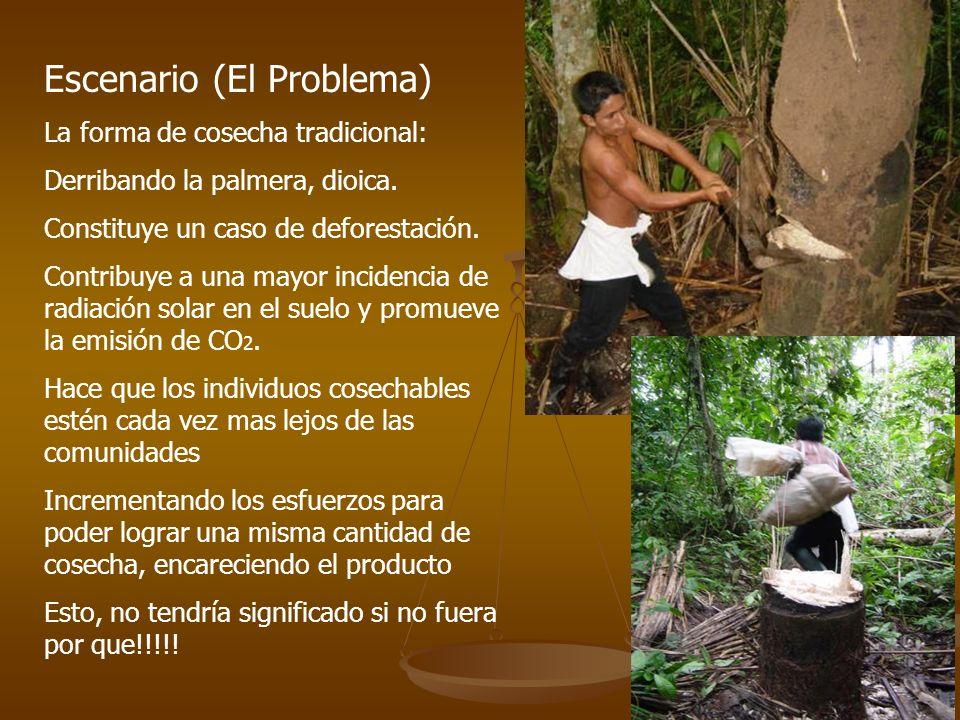 Escenario (El Problema) La forma de cosecha tradicional: Derribando la palmera, dioica.