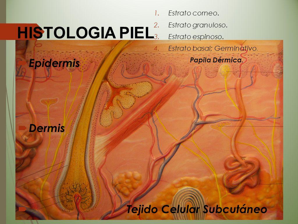 HISTOLOGIA PIEL EEpidermis DDermis  Tejido Celular Subcutáneo 1.Estrato corneo. 2.Estrato granuloso. 3.Estrato espinoso. 4.Estrato basal; Germina
