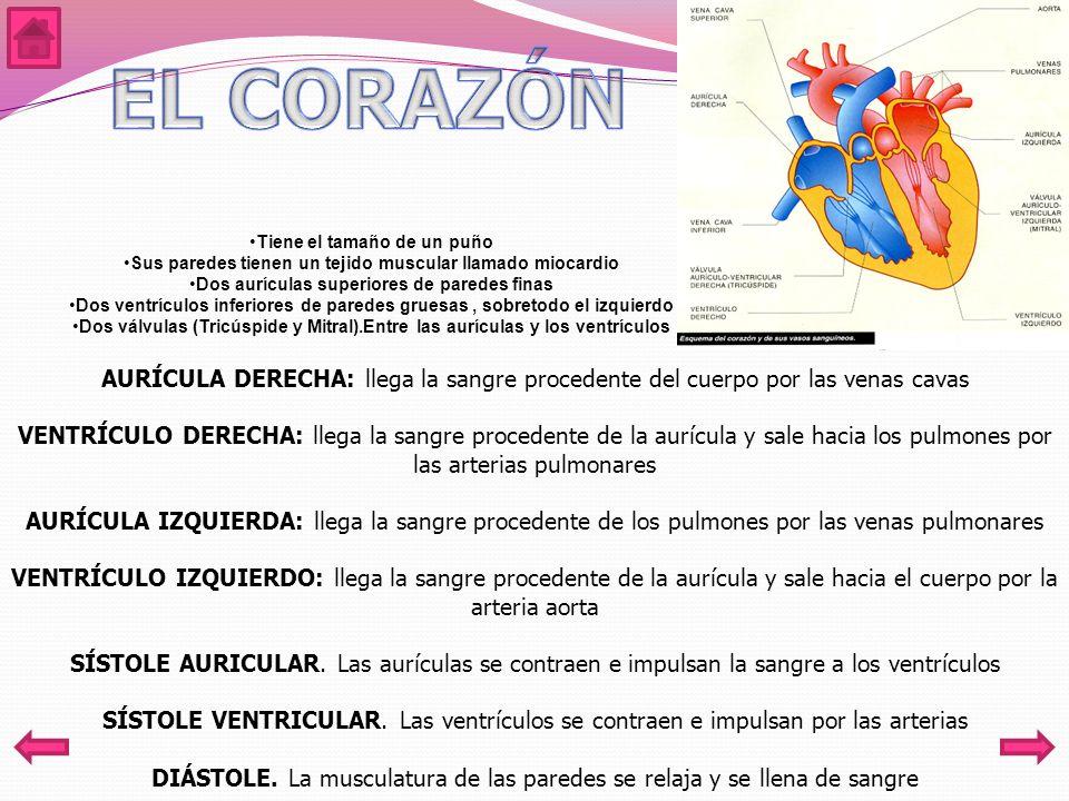 Tiene el tamaño de un puño Sus paredes tienen un tejido muscular llamado miocardio Dos aurículas superiores de paredes finas Dos ventrículos inferiores de paredes gruesas, sobretodo el izquierdo Dos válvulas (Tricúspide y Mitral).Entre las aurículas y los ventrículos AURÍCULA DERECHA: llega la sangre procedente del cuerpo por las venas cavas VENTRÍCULO DERECHA: llega la sangre procedente de la aurícula y sale hacia los pulmones por las arterias pulmonares AURÍCULA IZQUIERDA: llega la sangre procedente de los pulmones por las venas pulmonares VENTRÍCULO IZQUIERDO: llega la sangre procedente de la aurícula y sale hacia el cuerpo por la arteria aorta SÍSTOLE AURICULAR.