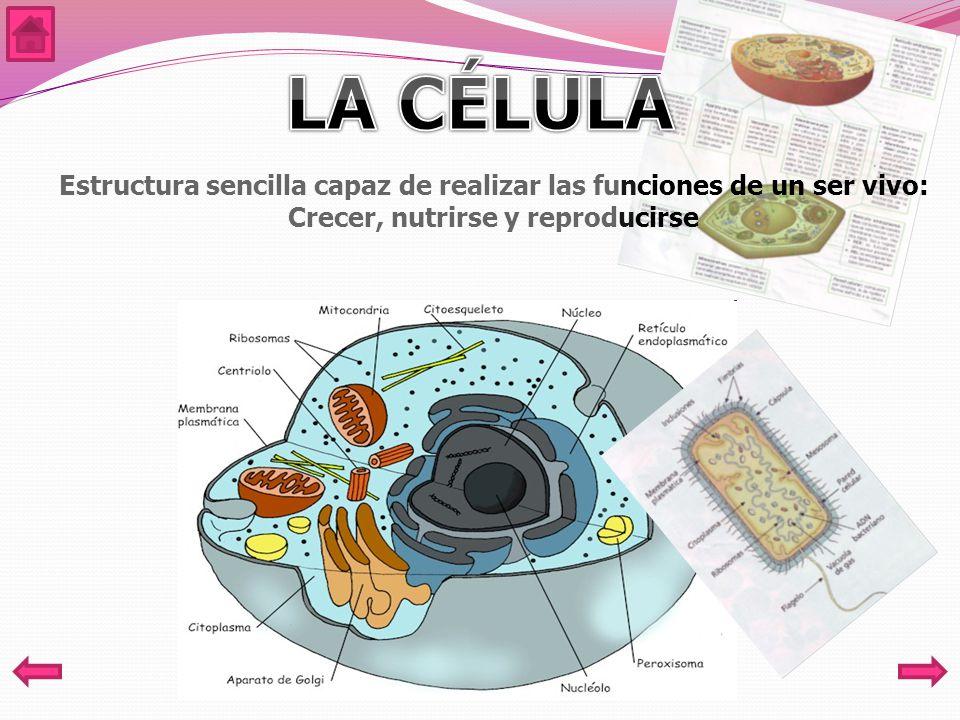 Estructura sencilla capaz de realizar las funciones de un ser vivo: Crecer, nutrirse y reproducirse