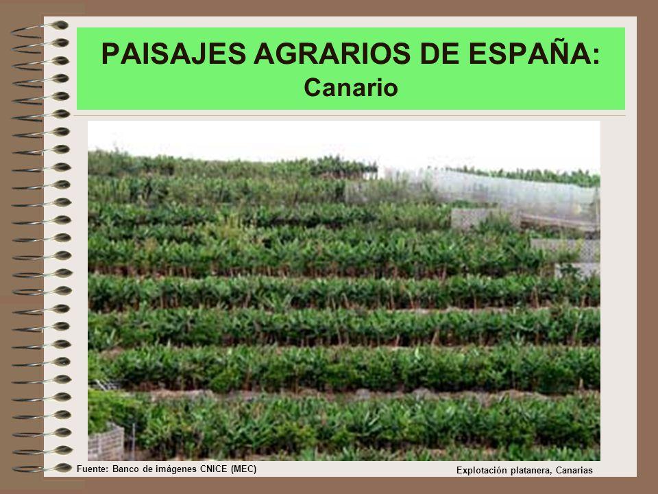 PAISAJES AGRARIOS DE ESPAÑA: Canario Explotación platanera, Canarias Fuente: Banco de imágenes CNICE (MEC)