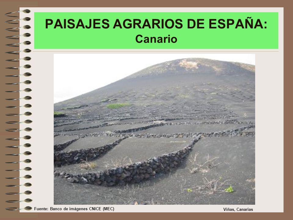 PAISAJES AGRARIOS DE ESPAÑA: Canario Viñas, Canarias Fuente: Banco de imágenes CNICE (MEC)