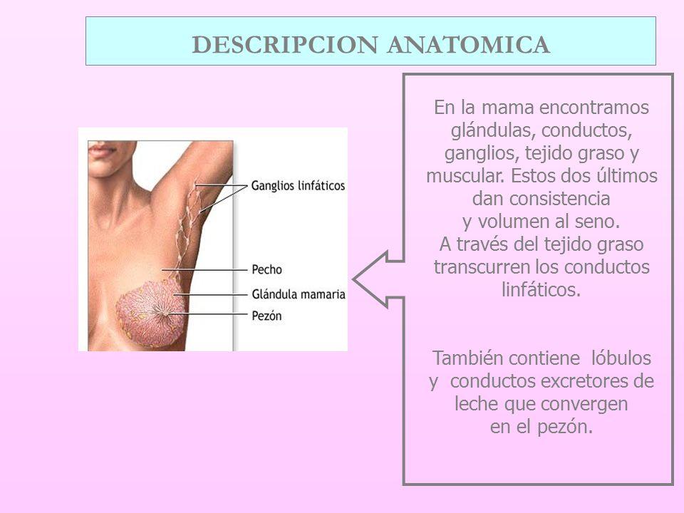DESCRIPCION ANATOMICA En la mama encontramos glándulas, conductos, ganglios, tejido graso y muscular.