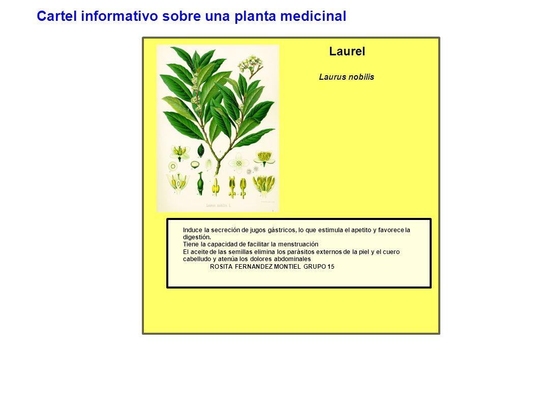 Cartel informativo sobre una planta medicinal Laurel Laurus nobilis Induce la secreción de jugos gástricos, lo que estimula el apetito y favorece la digestión.