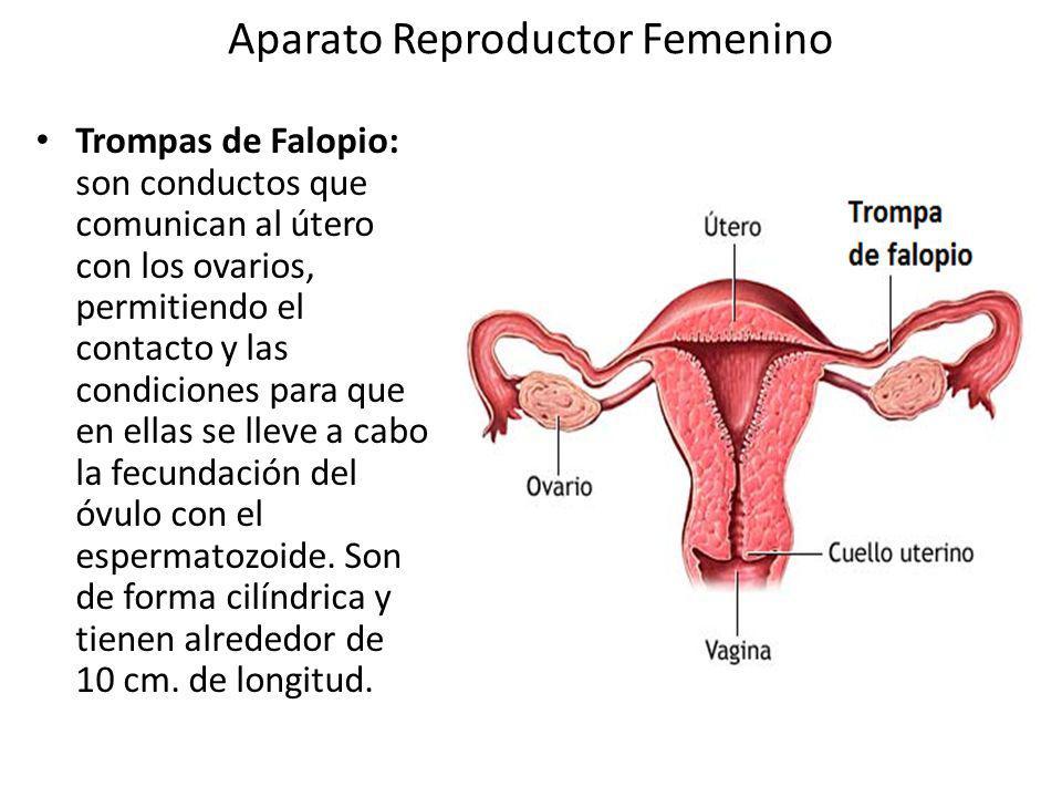 El Aparato Reproductor Femenino - ThingLink