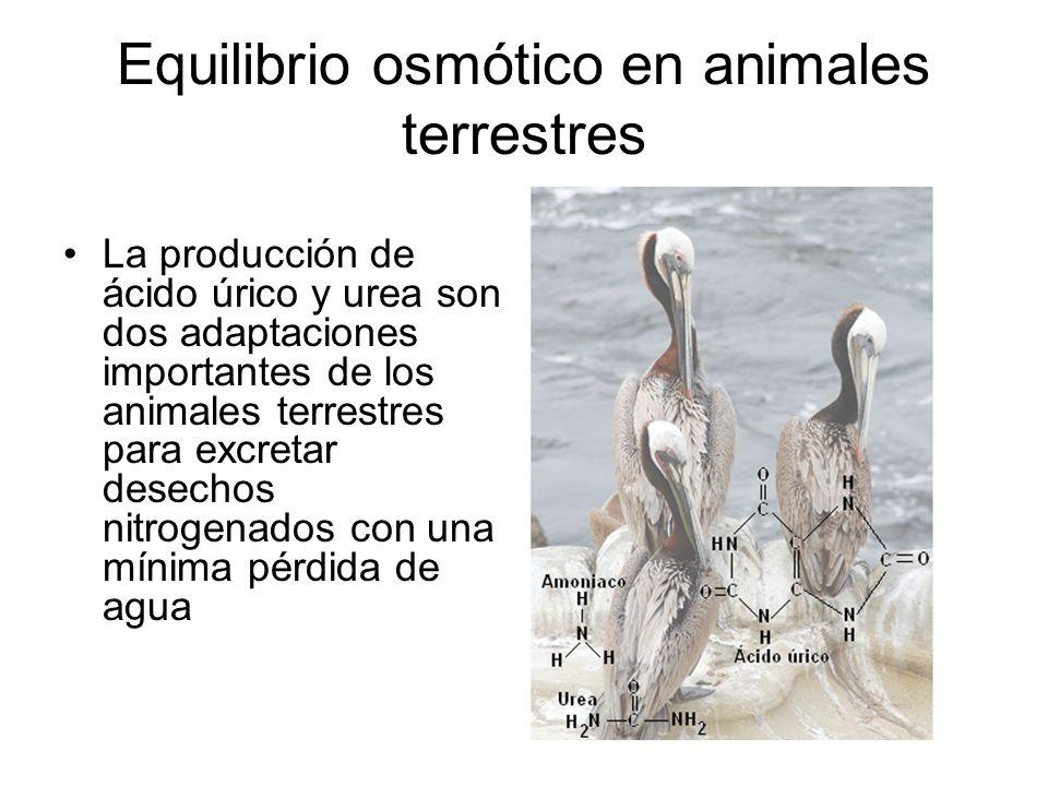 Equilibrio osmótico en animales terrestres La producción de ácido úrico y urea son dos adaptaciones importantes de los animales terrestres para excret