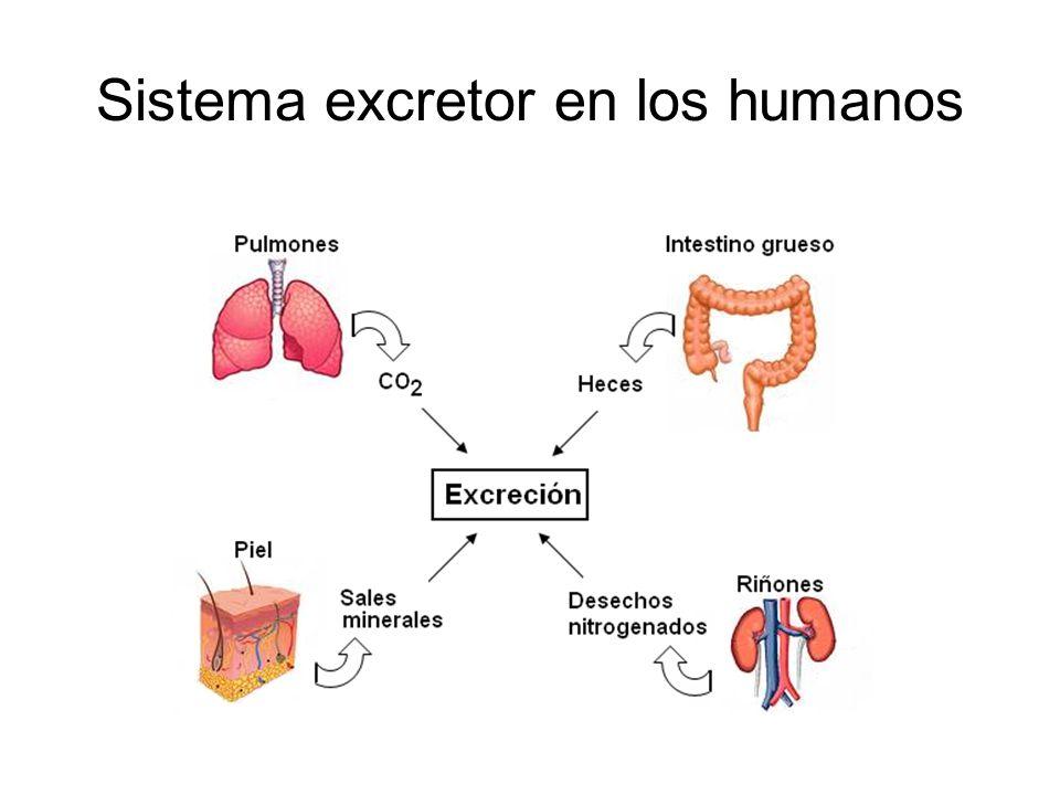 Sistema excretor en los humanos