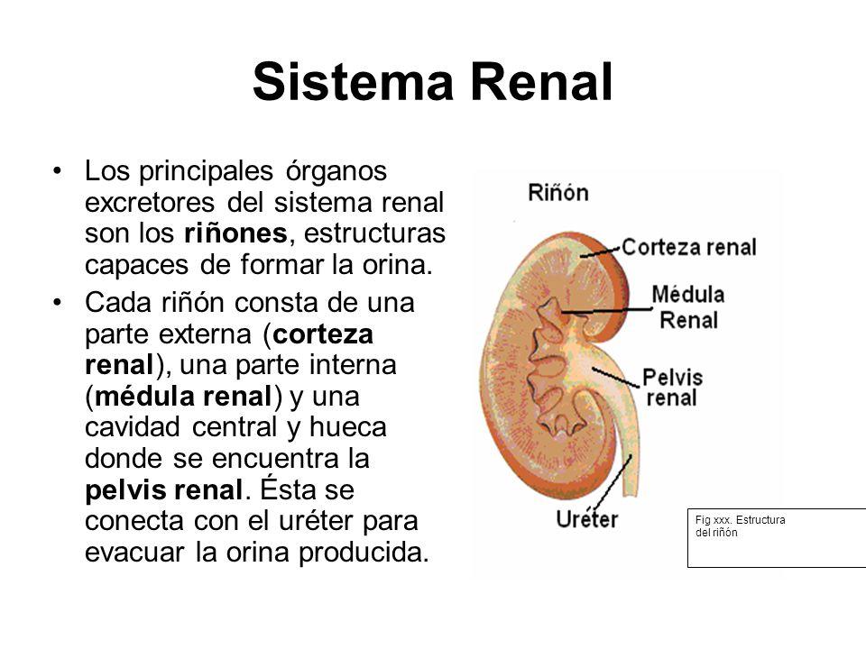 Sistema Renal Los principales órganos excretores del sistema renal son los riñones, estructuras capaces de formar la orina. Cada riñón consta de una p