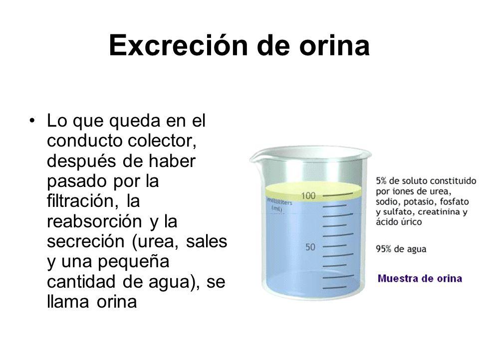 Excreción de orina Lo que queda en el conducto colector, después de haber pasado por la filtración, la reabsorción y la secreción (urea, sales y una p