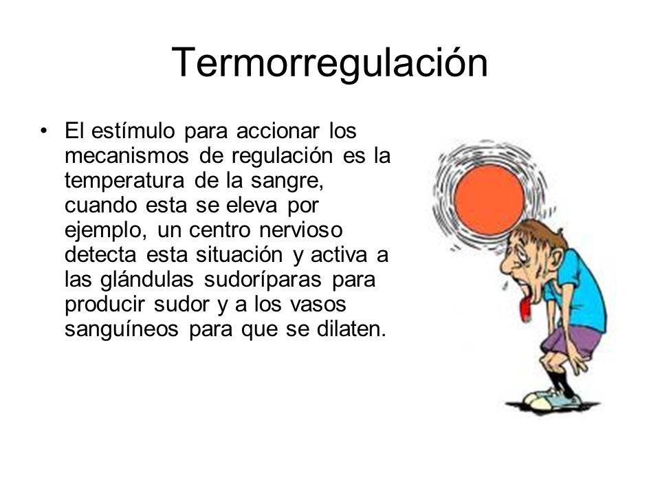 Termorregulación El estímulo para accionar los mecanismos de regulación es la temperatura de la sangre, cuando esta se eleva por ejemplo, un centro ne