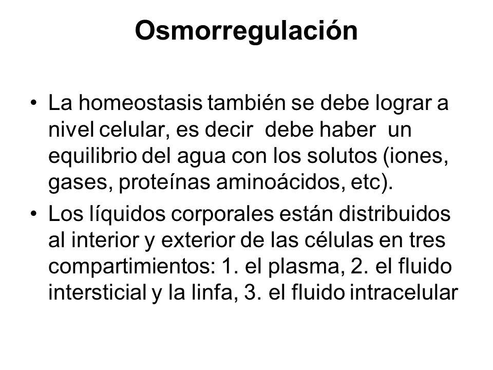 Osmorregulación La homeostasis también se debe lograr a nivel celular, es decir debe haber un equilibrio del agua con los solutos (iones, gases, prote