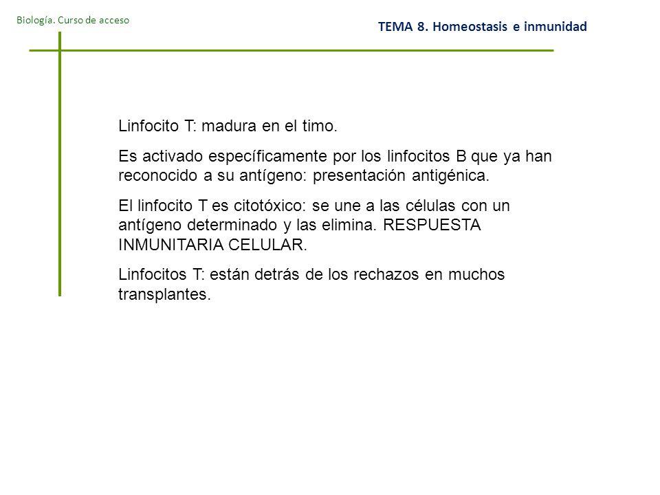 Biología.Curso de acceso TEMA 8. Homeostasis e inmunidad Linfocito T: madura en el timo.
