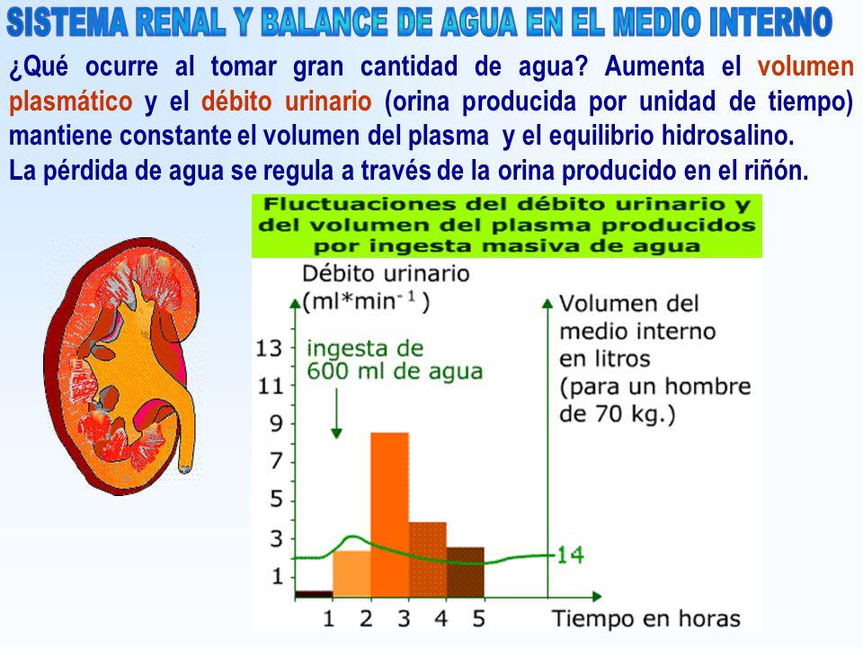 ¿Qué ocurre al tomar gran cantidad de agua? Aumenta el volumen plasmático y el débito urinario (orina producida por unidad de tiempo) mantiene constan