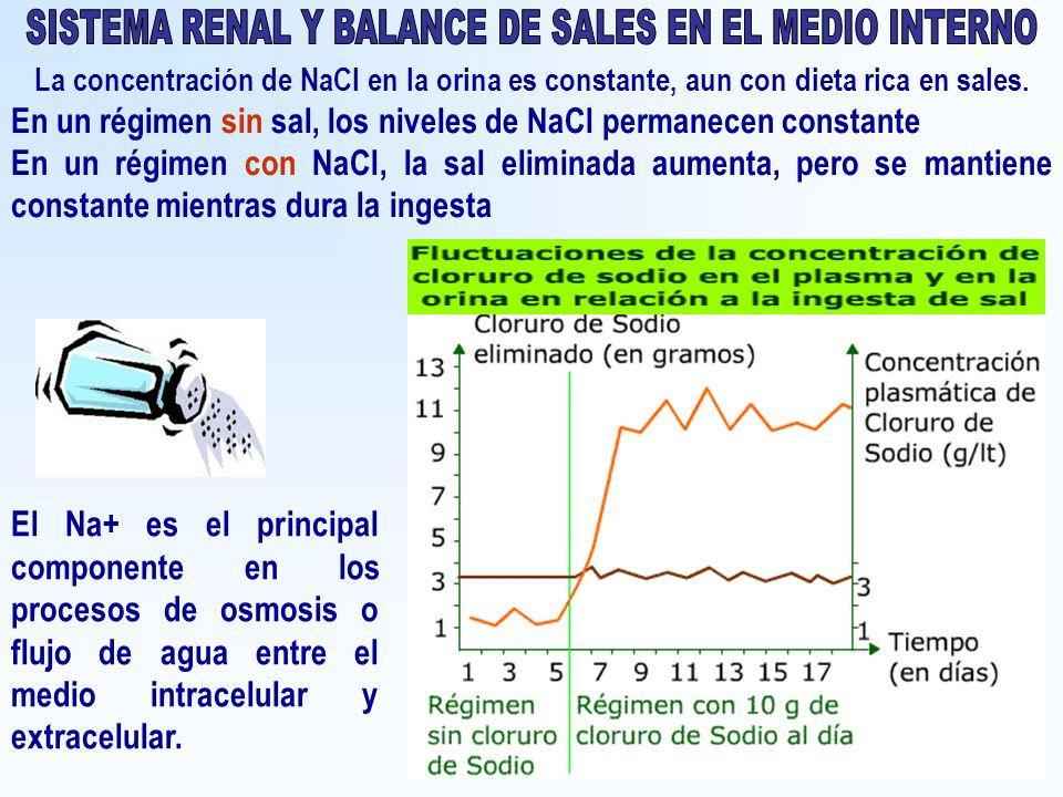 La concentración de NaCl en la orina es constante, aun con dieta rica en sales. En un régimen sin sal, los niveles de NaCl permanecen constante En un
