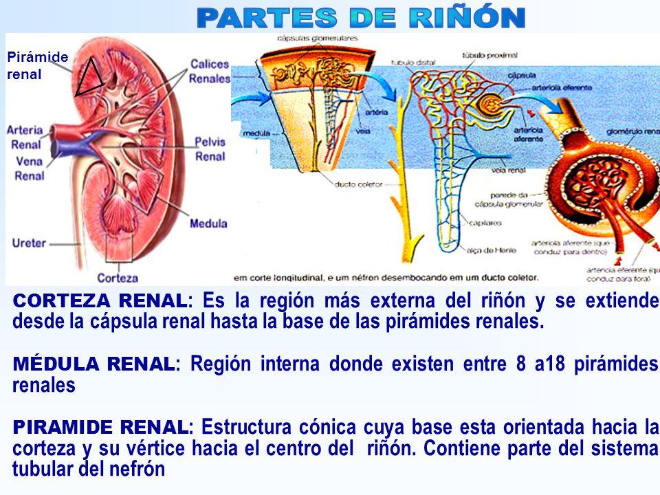 CORTEZA RENAL : Es la región más externa del riñón y se extiende desde la cápsula renal hasta la base de las pirámides renales. MÉDULA RENAL : Región