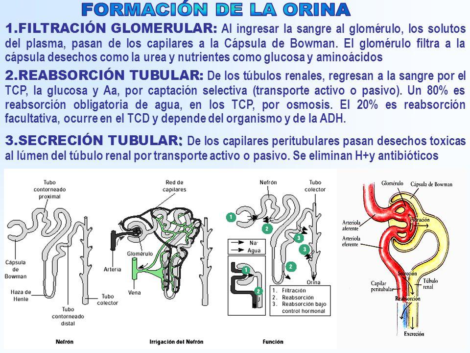 1.FILTRACIÓN GLOMERULAR: Al ingresar la sangre al glomérulo, los solutos del plasma, pasan de los capilares a la Cápsula de Bowman. El glomérulo filtr
