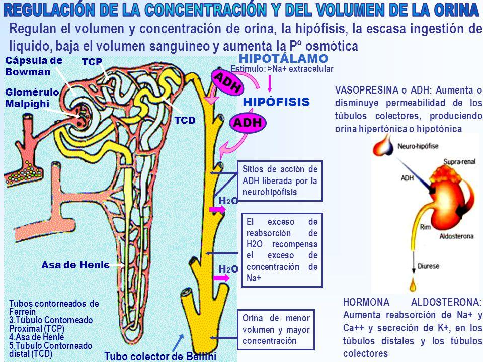 Regulan el volumen y concentración de orina, la hipófisis, la escasa ingestión de liquido, baja el volumen sanguíneo y aumenta la Pº osmótica Glomérul