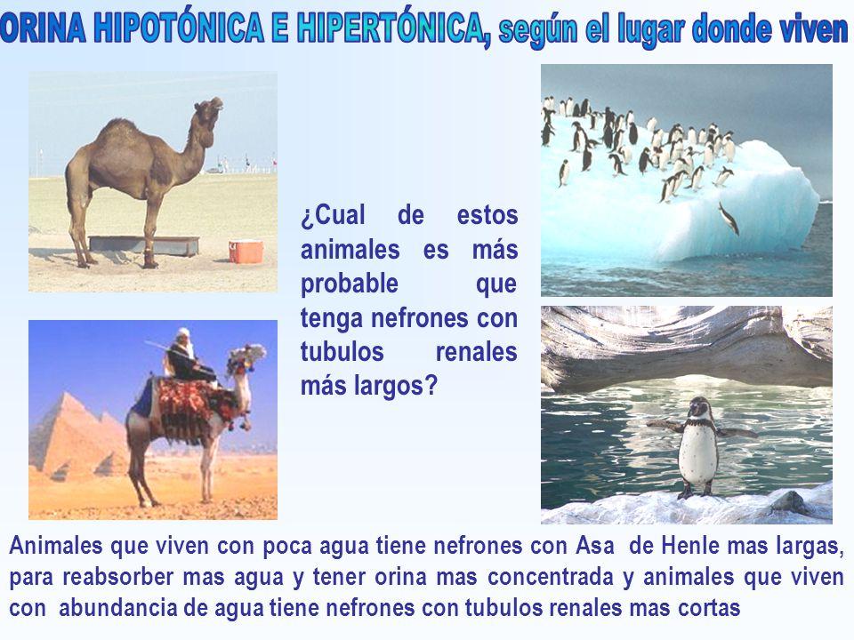 ¿Cual de estos animales es más probable que tenga nefrones con tubulos renales más largos? Animales que viven con poca agua tiene nefrones con Asa de