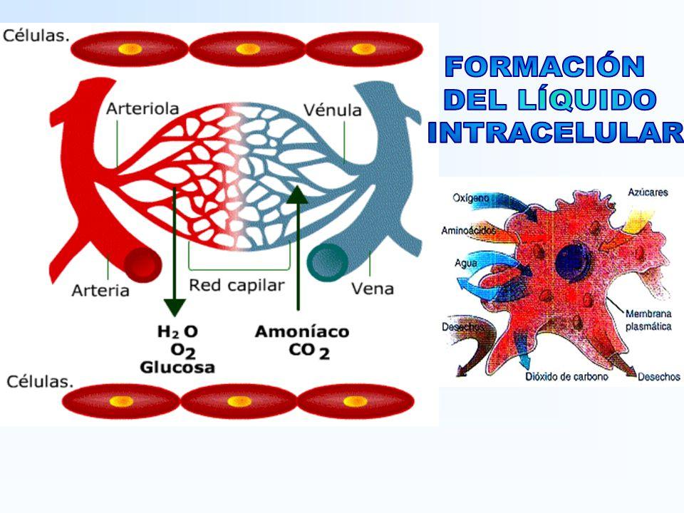 CORTEZA RENAL : Es la región más externa del riñón y se extiende desde la cápsula renal hasta la base de las pirámides renales.
