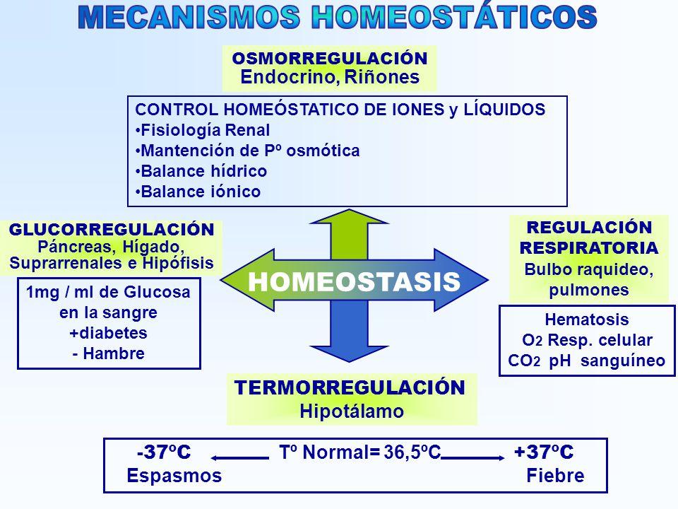 TERMORREGULACIÓN Hipotálamo REGULACIÓN RESPIRATORIA Bulbo raquideo, pulmones OSMORREGULACIÓN Endocrino, Riñones GLUCORREGULACIÓN Páncreas, Hígado, Sup