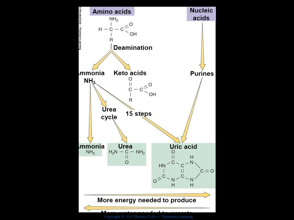 Copyright © 2005 Brooks/Cole — Thomson Learning Biology, Seventh EditionCHAPTER 44 Gas Exchange Formation of nitrogenous wastes Amino acids Nucleic acids Deamination Purines Keto acids Ammonia NH 3 Urea cycle 15 steps AmmoniaUrea Uric acid More energy needed to produce More water needed to excrete