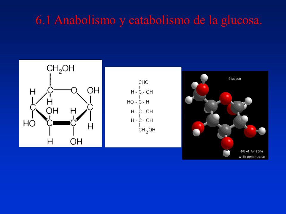 6.1 Anabolismo y catabolismo de la glucosa.