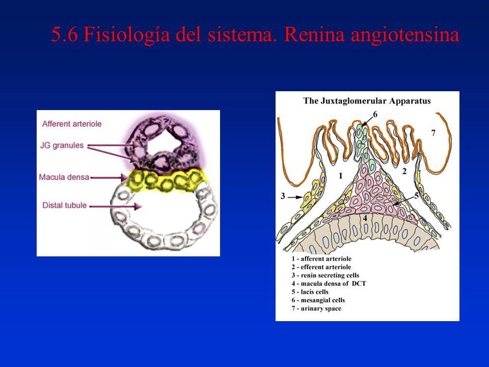 5.6 Fisiología del sistema. Renina angiotensina