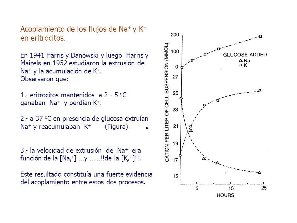 Acoplamiento de los flujos de Na + y K + en eritrocitos.