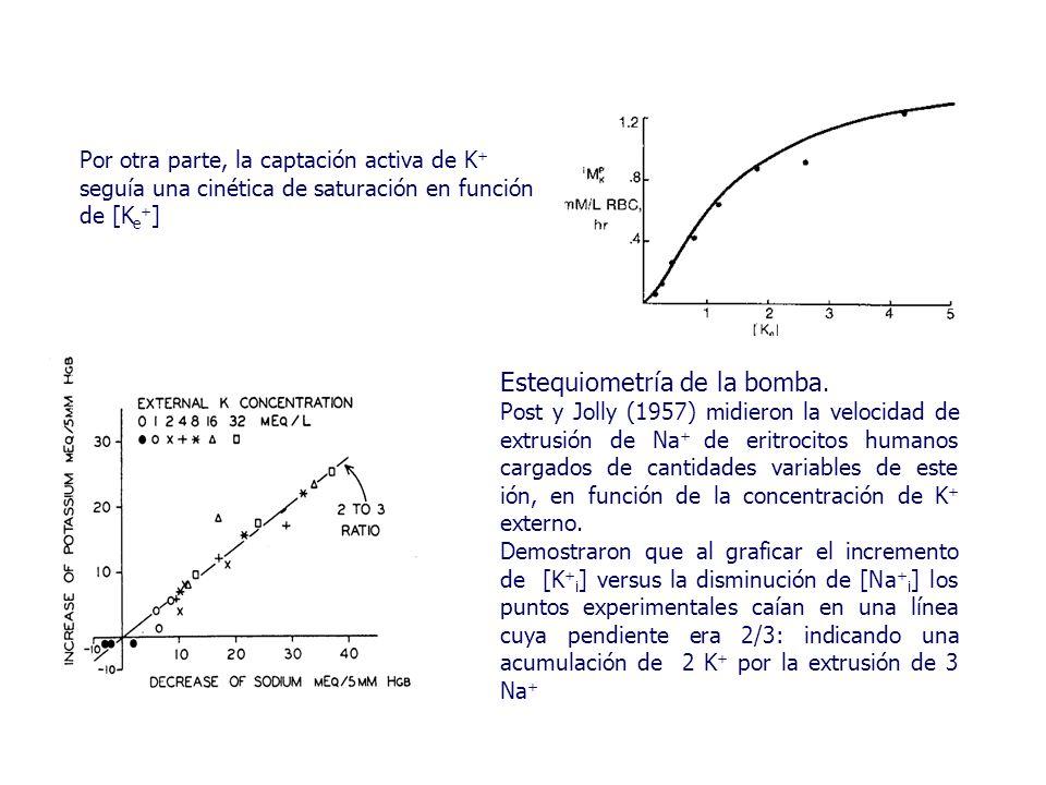 Por otra parte, la captación activa de K + seguía una cinética de saturación en función de [K e + ] Estequiometría de la bomba.