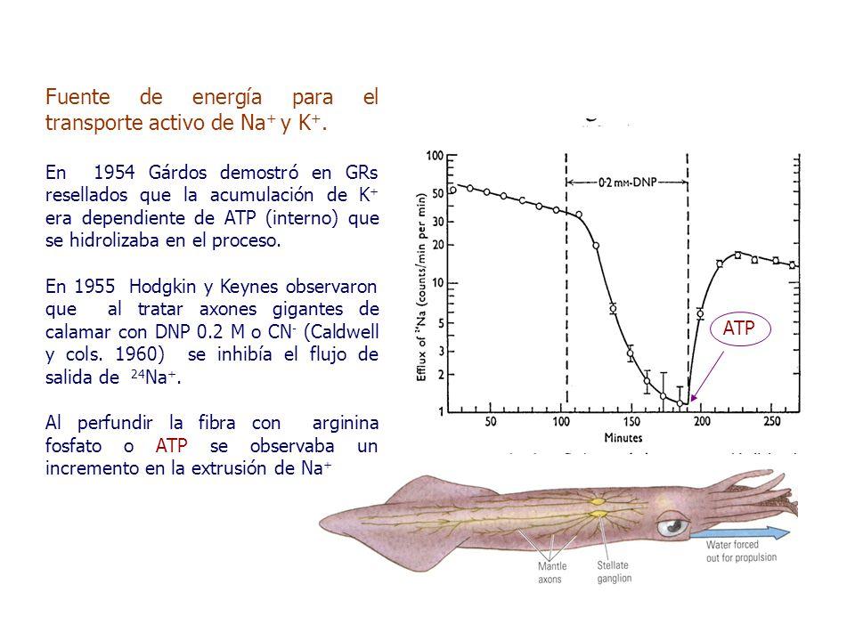 Fuente de energía para el transporte activo de Na + y K +.