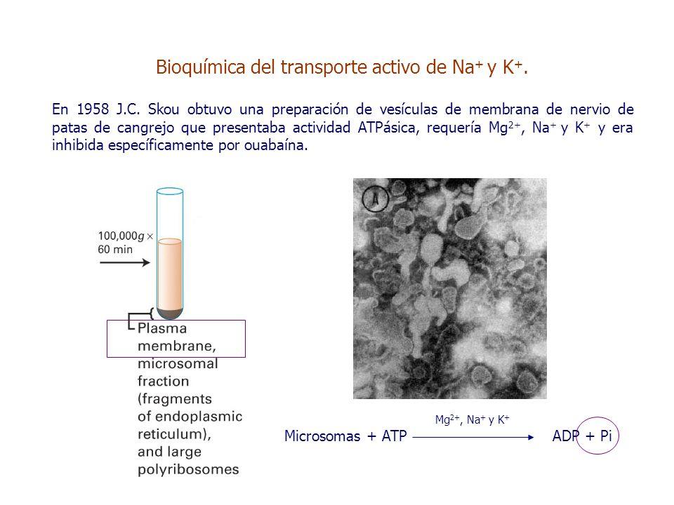 Bioquímica del transporte activo de Na + y K +. En 1958 J.C.