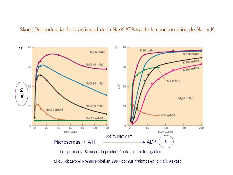 Skou: Dependencia de la actividad de la Na/K ATPasa de la concentración de Na + y K + μ g Pi Mg 2+, Na + y K + Microsomas + ATP ADP + Pi Lo que medía Skou era la producción de fosfato inorgánico Skou: obtuvo el Premio Nobel en 1997 por sus trabajos en la Na/K ATPasa (a)