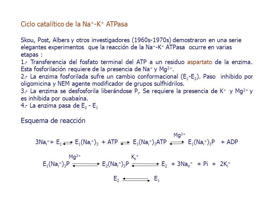 Ciclo catalítico de la Na + -K + ATPasa Skou, Post, Albers y otros investigadores (1960s-1970s) demostraron en una serie elegantes experimentos que la reacción de la Na + -K + ATPasa ocurre en varias etapas : 1.- Transferencia del fosfato terminal del ATP a un residuo aspartato de la enzima.