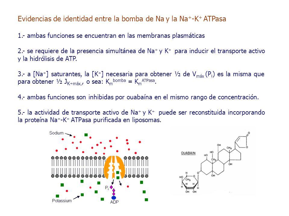Evidencias de identidad entre la bomba de Na y la Na + -K + ATPasa 1.- ambas funciones se encuentran en las membranas plasmáticas 2.- se requiere de la presencia simultánea de Na + y K + para inducir el transporte activo y la hidrólisis de ATP.