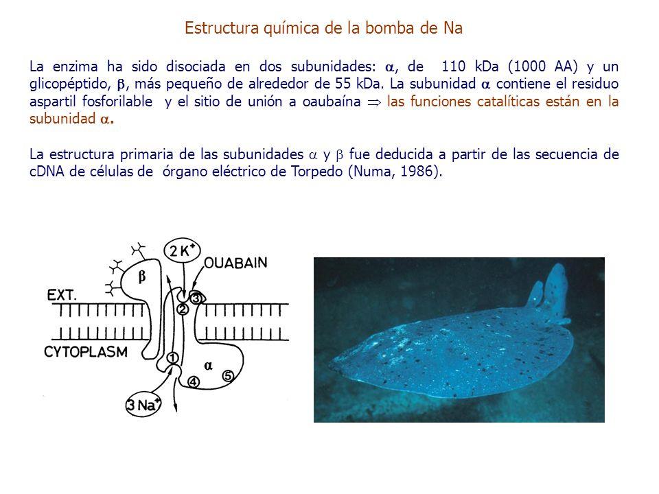 Estructura química de la bomba de Na La enzima ha sido disociada en dos subunidades: , de 110 kDa (1000 AA) y un glicopéptido, , más pequeño de alrededor de 55 kDa.