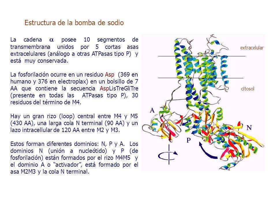 Estructura de la bomba de sodio La cadena  posee 10 segmentos de transmembrana unidos por 5 cortas asas extracelulares (análogo a otras ATPasas tipo P) y está muy conservada.
