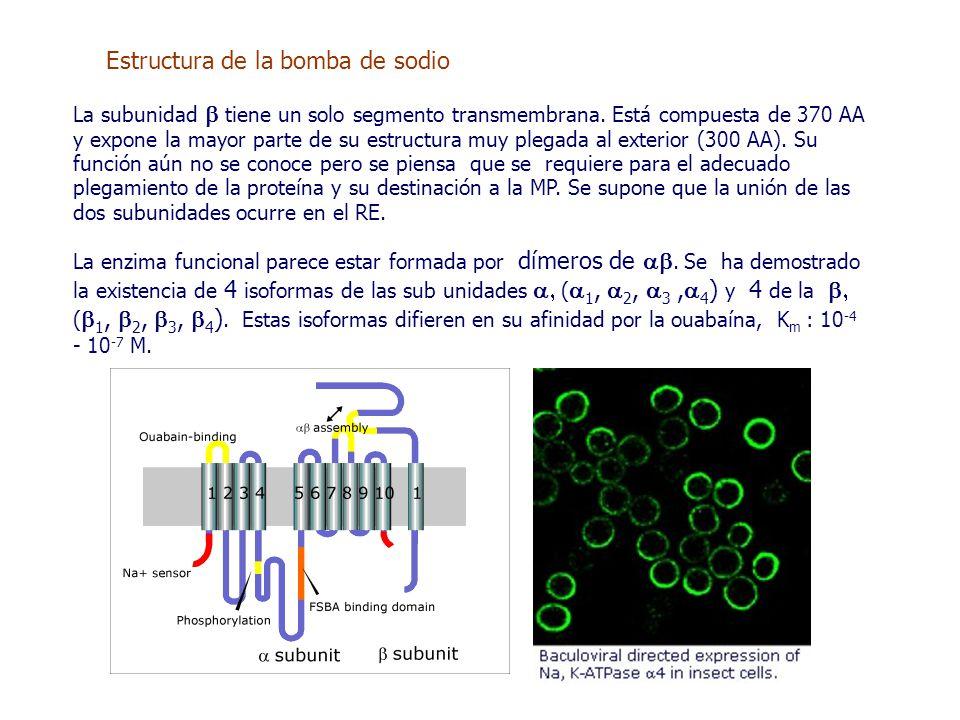 Estructura de la bomba de sodio La subunidad  tiene un solo segmento transmembrana.