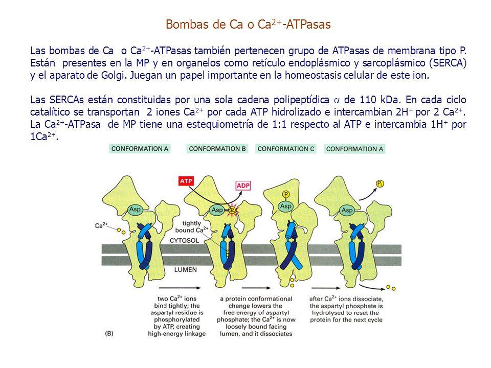 Bombas de Ca o Ca 2+ -ATPasas Las bombas de Ca o Ca 2+ -ATPasas también pertenecen grupo de ATPasas de membrana tipo P.