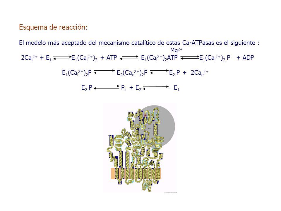 Esquema de reacción: El modelo más aceptado del mecanismo catalítico de estas Ca-ATPasas es el siguiente : Mg 2+ 2Ca i 2+ + E 1 E 1 (Ca i 2+ ) 2 + ATP E 1 (Ca i 2+ ) 2 ATP E 1 (Ca i 2+ ) 2 P + ADP E 1 (Ca i 2+ ) 2 P E 2 (Ca e 2+ ) 2 P E 2 P + 2Ca e 2+ E 2 P P i + E 2 E 1