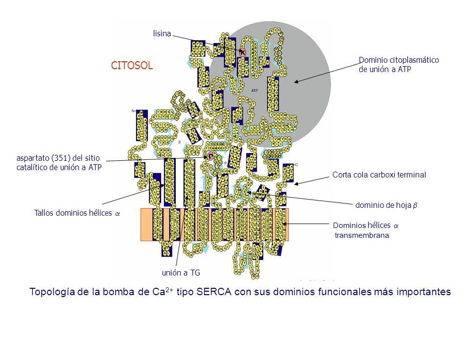 Topología de la bomba de Ca 2+ tipo SERCA con sus dominios funcionales más importantes dominio de hoja  Dominios hélices  transmembrana aspartato (351) del sitio catalítico de unión a ATP Tallos dominios hélices  Dominio citoplasmático de unión a ATP lisina Corta cola carboxi terminal unión a TG CITOSOL
