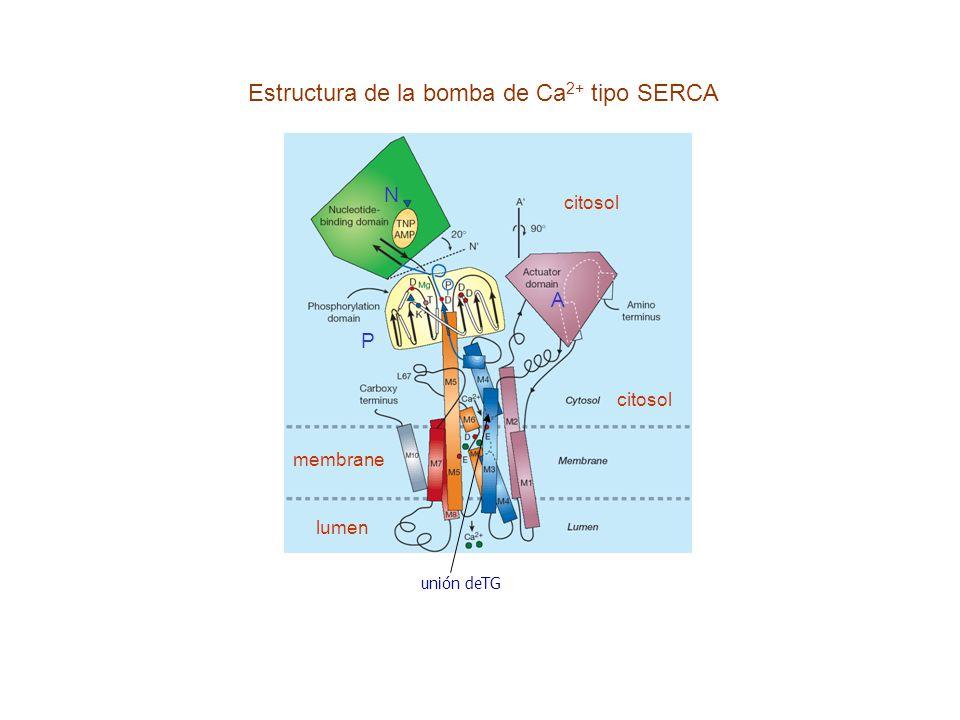 Estructura de la bomba de Ca 2+ tipo SERCA N A citosol P unión deTG citosol lumen membrane