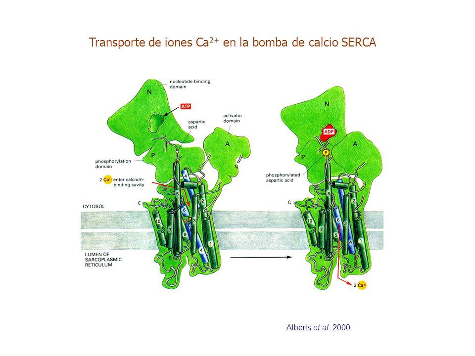 Transporte de iones Ca 2+ en la bomba de calcio SERCA Alberts et al. 2000