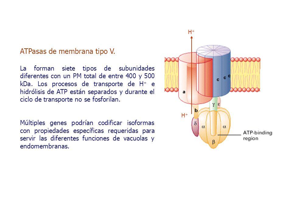 ATPasas de membrana tipo V.