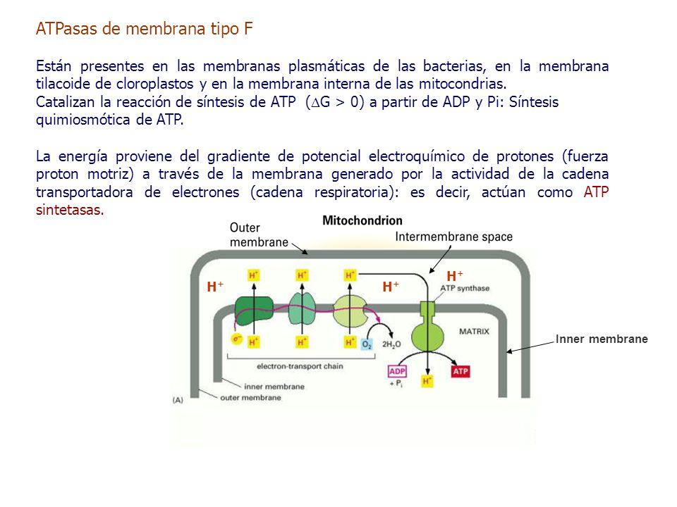 e-e- H+H+ H+H+ H+H+ H+H+ H+H+ H+H+ e-e- FADH 2 ATPasas de membrana tipo F Están presentes en las membranas plasmáticas de las bacterias, en la membrana tilacoide de cloroplastos y en la membrana interna de las mitocondrias.