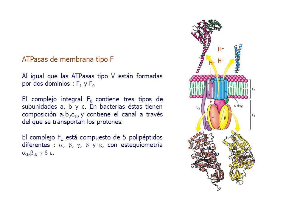 ATPasas de membrana tipo F Al igual que las ATPasas tipo V están formadas por dos dominios : F 1 y F 0 El complejo integral F 0 contiene tres tipos de subunidades a, b y c.