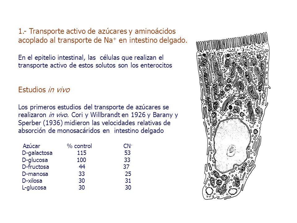 1.- Transporte activo de azúcares y aminoácidos acoplado al transporte de Na + en intestino delgado.