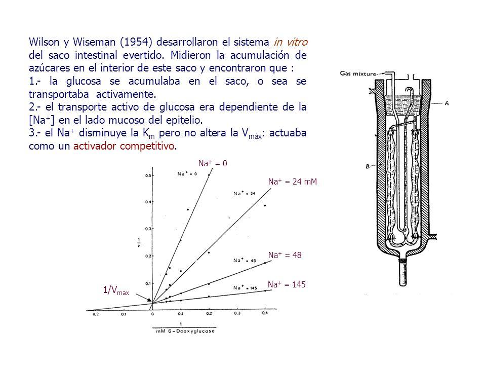 Wilson y Wiseman (1954) desarrollaron el sistema in vitro del saco intestinal evertido.