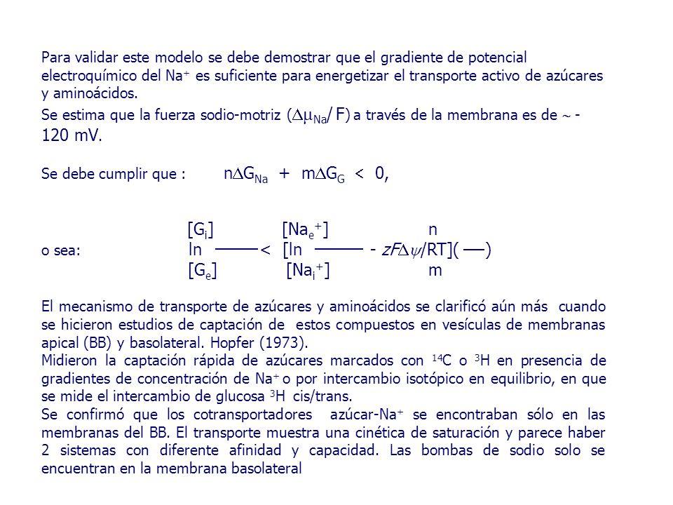 Para validar este modelo se debe demostrar que el gradiente de potencial electroquímico del Na + es suficiente para energetizar el transporte activo de azúcares y aminoácidos.