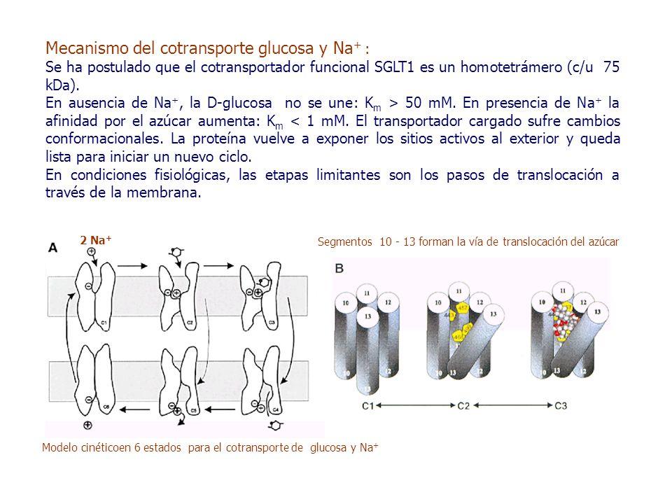 Mecanismo del cotransporte glucosa y Na + : Se ha postulado que el cotransportador funcional SGLT1 es un homotetrámero (c/u 75 kDa).